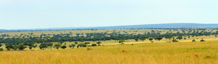ugandan: The Ugandan savannah in Murchison Falls National Park as a panoramic photo.