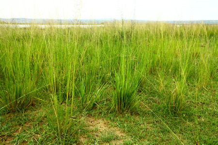 Clumps of savannah grasses during the wet season in Uganda.