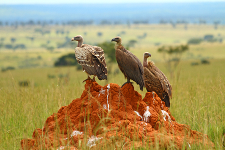 Three vultures sit on a feces stained rock in Murchison Falls National Park, Uganda. Stock Photo