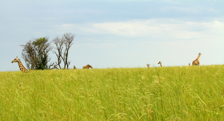 Camera angle down in the savannah grass looking out at the horizon with giraffes around. Stock Photo