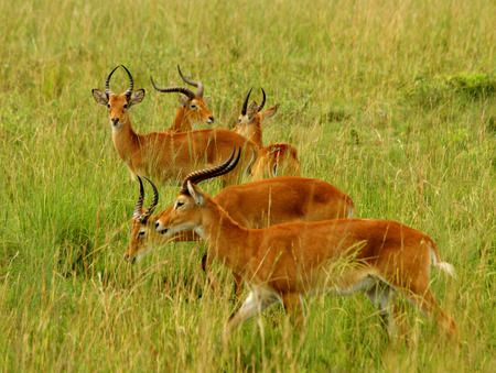 ugandan: Multiple Kob Antelope grazing in the Ugandan countryside.