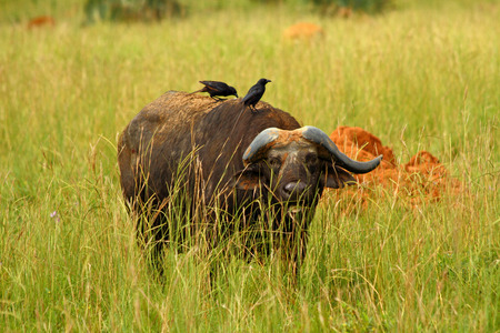 An African Cape Buffalo hides in the grass while grazing with two birds grooming his back.