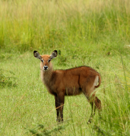 A female waterbuck stands alone against a lush green background in Murchison Falls National Park, Uganda.