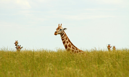 Giraffes sit down in long savannah grasses with their heads just sticking up above the grass.