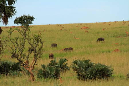A large group of different animals grazing for food on a hill in Murchison Falls National Park, Uganda. Stock Photo