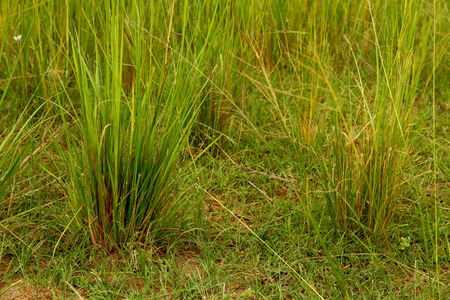 A close-up view of green and yellow grasses on the African Savannah.