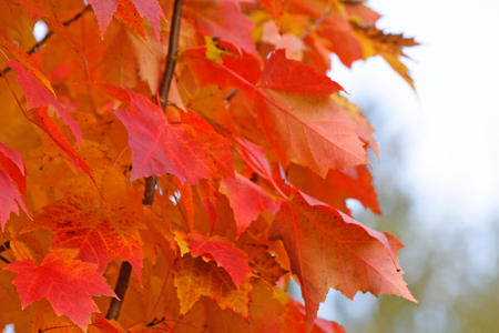 A closeup view of fiery colored maple leaves during fall.