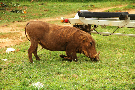 A warthog kneels to graze on the grass in a safari Camp