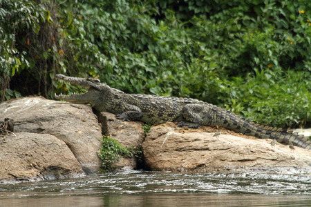 A crocodile suns itself on a rock in the nile river in Uganda. Stock fotó