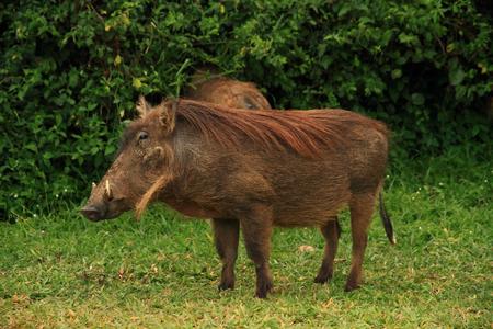 A portrait of a warthog against a green jungle foliage background. Banco de Imagens