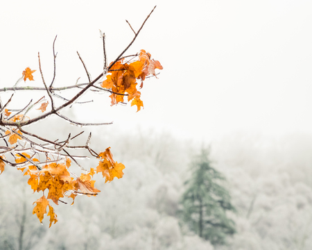 A few branches of bright yellow and orange leaves is photographed in front of a tall full ever green which contrasts beautifully against a forest of smaller trees with barren white icey branches.
