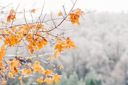 A few branches of bright yellow and orange leaves is photographed in front of a t forest of trees with barren white icey branches. 写真素材