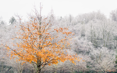 A tree with bright yellow and orange  leaves is photographed in front of a forest of trees with barren white icey branches. Stock Photo
