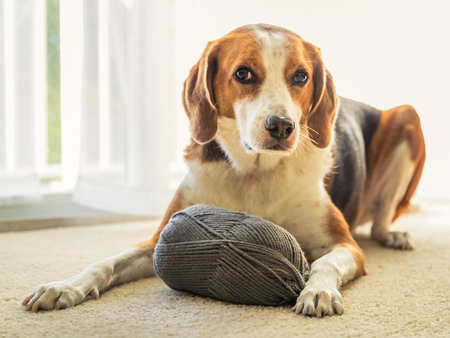 An adorable Beagle mixed dog is laying  on the floor inside a house with a big ball of grey yarn. 写真素材