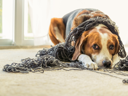An adorable Beagle mixed dog is laying  on the floor inside a house and is all tangled up in a big ball of grey yarn while he gives a puppy face. Reklamní fotografie