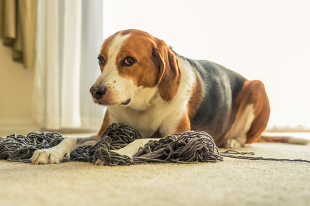An adorable Beagle dog mix is laying on a big tangled mess of grey yarn while he gives the puppy face.