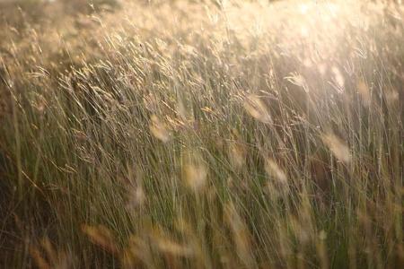 winter wheat: Japanese silvergrass