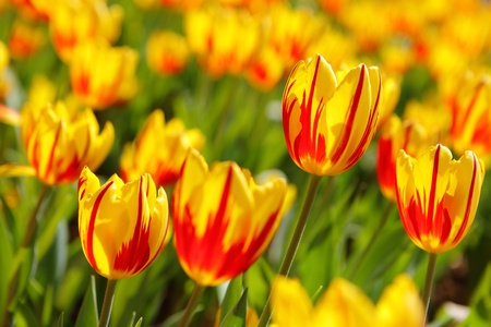 garden scenery: Sea of Beautiful Tulips in the morning Sun  Stock Photo