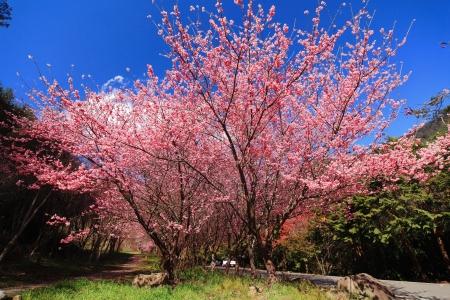 paisaje rural: Cherry Blossom con una trayectoria de cerca Foto de archivo
