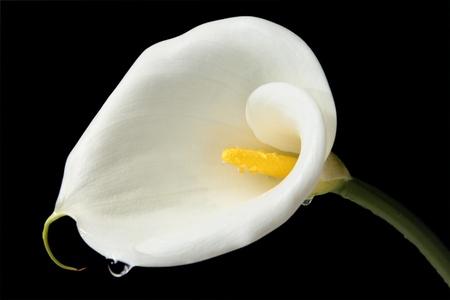 Charming Calla lily