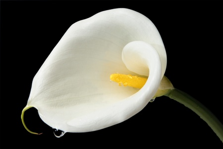 water lilly: Charming Calla lily