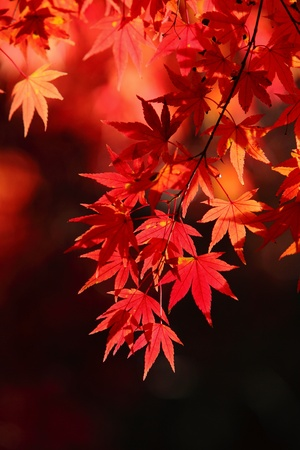 beautiful maple leaves Stock Photo - 10798133