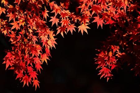 kyoto: beautiful maple leaves  Stock Photo