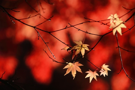 beautiful maple leaves  photo