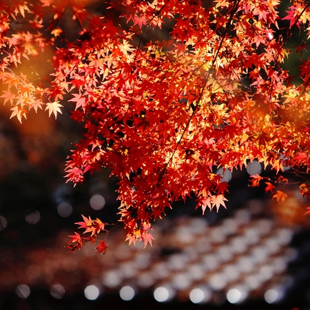 beautiful maple leaves Stock Photo - 10798131