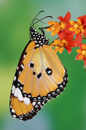 entomological: splendid and beautiful butterfly with flower  Stock Photo