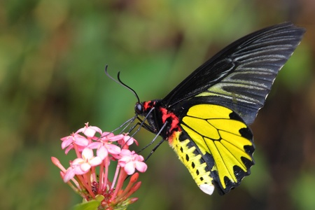 eyespot: flying golden butter  Stock Photo