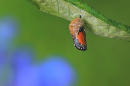 wijzigen: geweldig moment over de vlinder van vorm veranderen Chrysalis Stockfoto