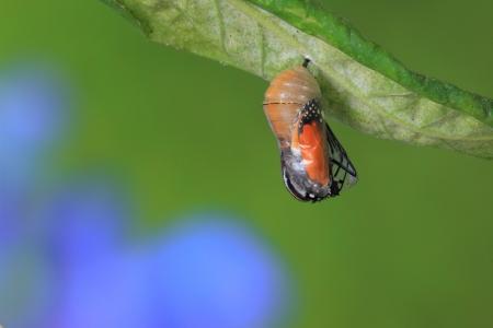 oruga: momento increíble de cambiar la forma de crisálida de mariposa