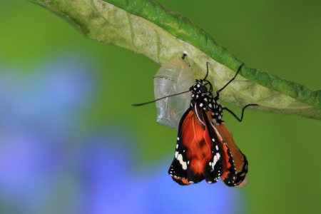 papilionidae: amazing moment about butterfly change form chrysalis