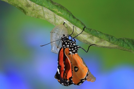 modyfikować: niesamowite chwilÄ™ o motyla zmiany postaci poczwarki Zdjęcie Seryjne