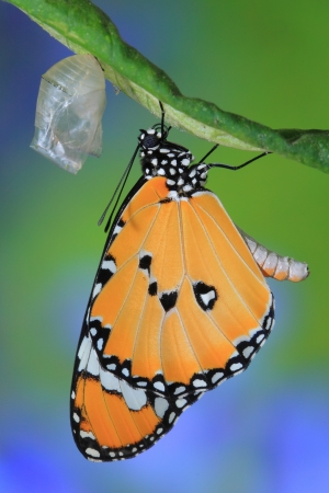 cocoon: amazing moment about butterfly change form chrysalis