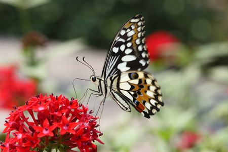 beauty spot: Beautiful flying Butterfly with red flower and green background