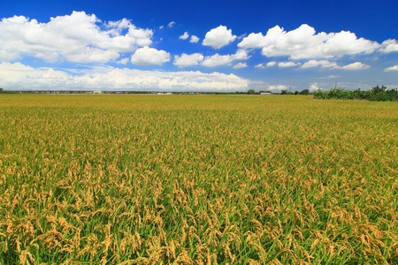 sunny day with sea of paddy and grass  photo