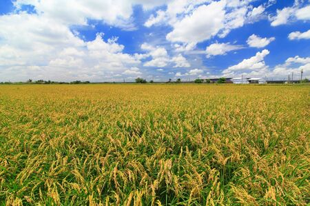 sunny day with sea of paddy and grass Stock Photo - 10778949