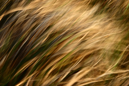 yellow grass in the wind  photo