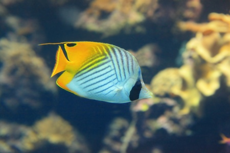 Beautiful yellow tropical fish with coral background photo
