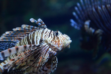 Beautiful Lion Fish photo