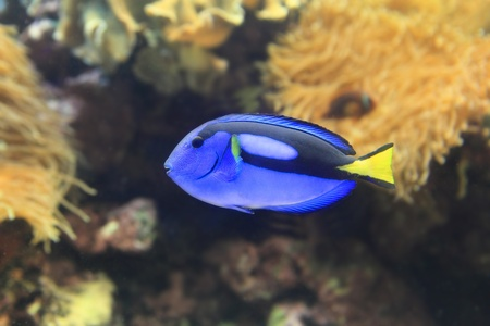 Beautiful blue Paracanthurus hepatus photo