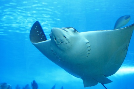 beautiful stingray Stock Photo