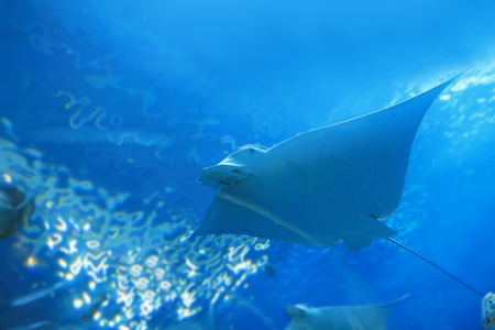 narinari: beautiful stingray Stock Photo
