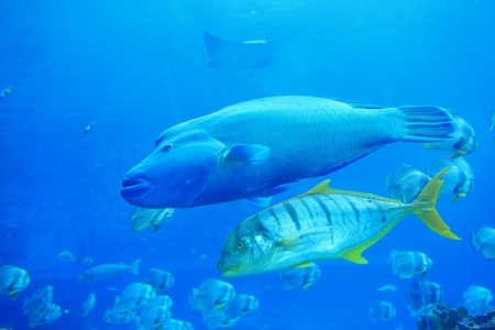 beautiful big two tropical fish in the ocean photo