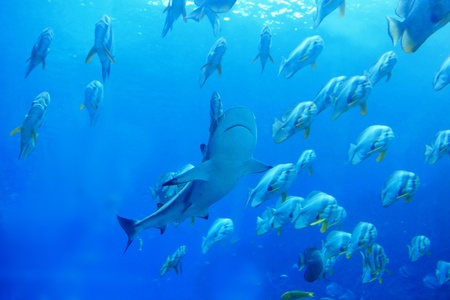Shark and fish in the ocean photo