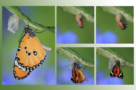 emerging: amazing moment about butterfly change form chrysalis
