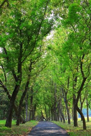 raod: Green tree and country raod