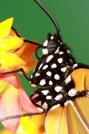 compound eyes: compound eye of butterfly Stock Photo
